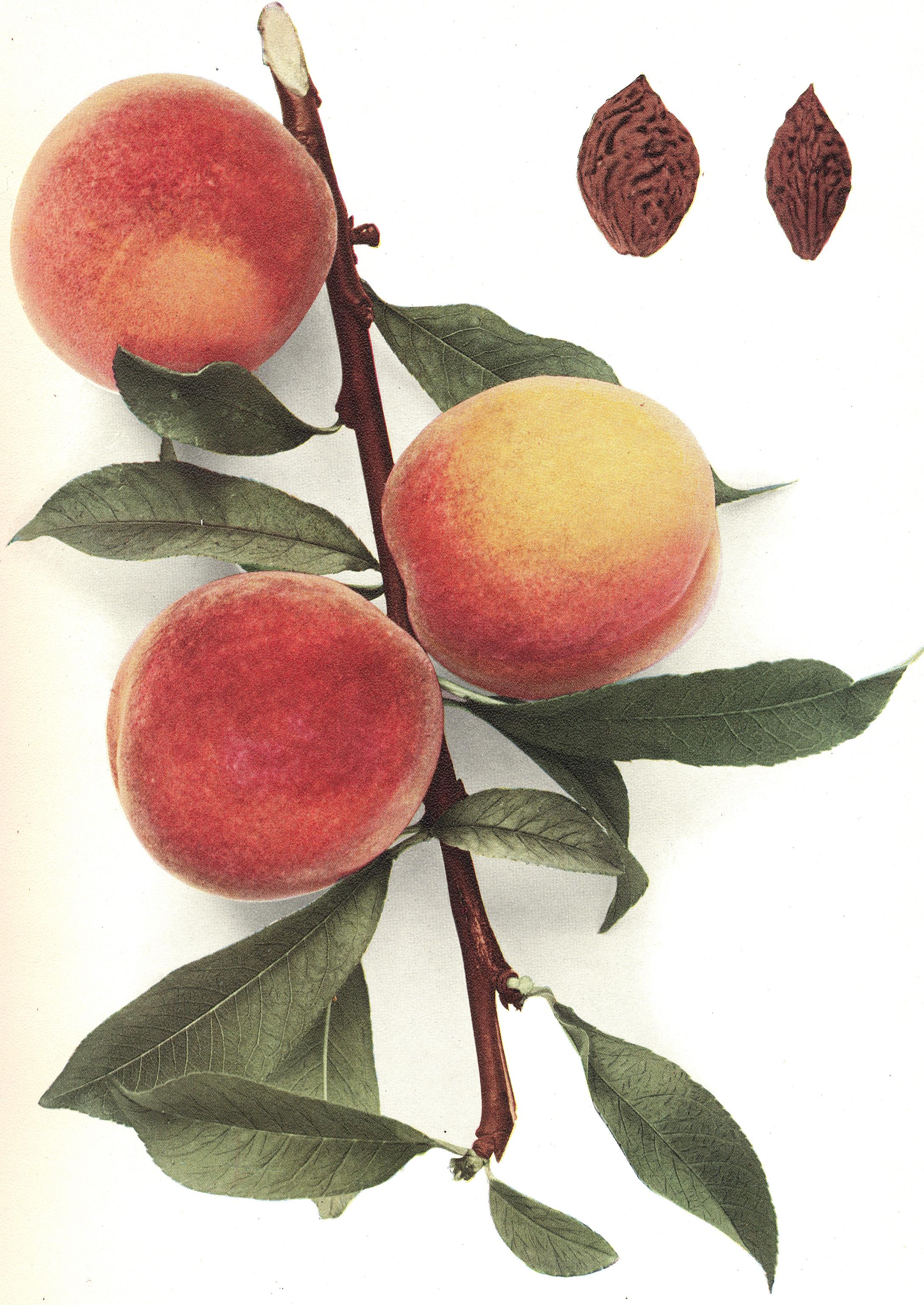 différence nectarine et brugnon