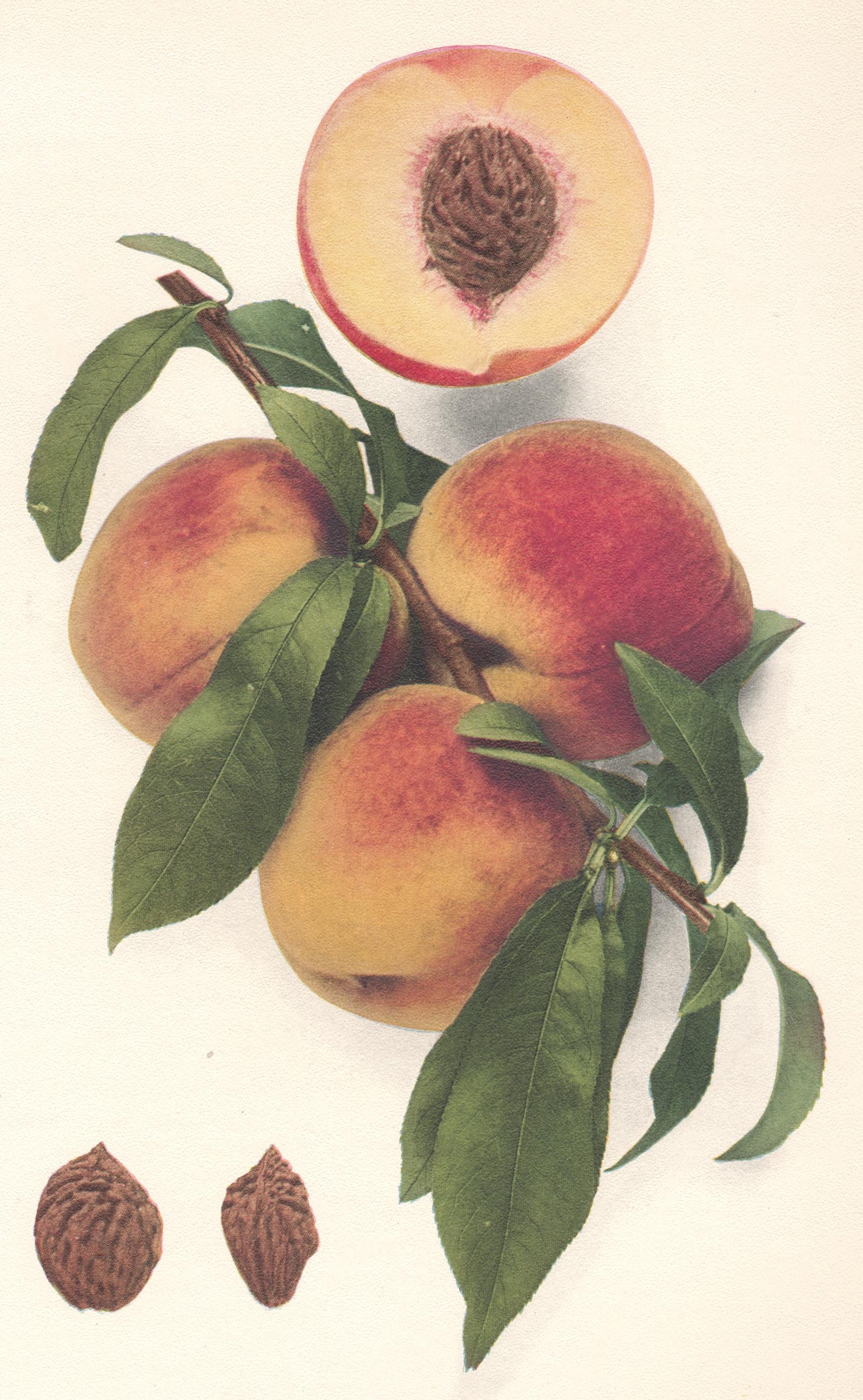 Peaches buycottarizona Image collections